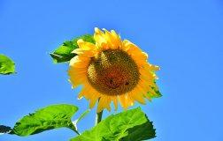 garten-sonnenblume